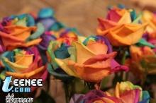 Rainbow Roses*0*