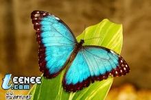 Butterflies *o*