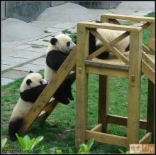 รวมภาพน่ารักน่าเอ็นดูของ 'หมีแพนด้า' คลายเครียด (3)