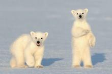 สุดยอดความน่ารักของหมีขั้วโลก