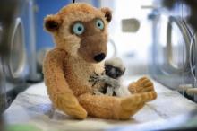 น่ารักน่าชัง! ลีเมอร์น้อยเกิดใหม่ในสวนสัตว์เมืองน้ำหอม