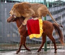 โชวสิงโตขี่ม้า
