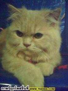 เจ้าฟองดูว์แมวที่บ้านหล่อมะคะ