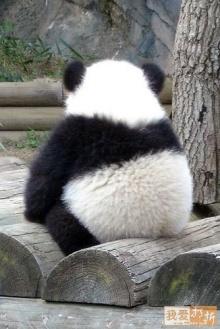 รวมภาพน่ารักน่าเอ็นดูของ 'หมีแพนด้า' คลายเครียด (2)