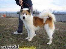 Thai bangkaew dog of Chumsangsongkram go to the world FCI