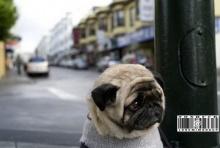 หมาหน้าย่นออก