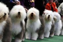 Dog Exhibition น่ารัก จริง ๆ (2)