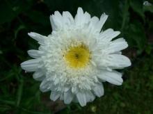 ดอกไม้สีขาว