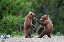 เจ้าหมีกริซซลี่  น่ารัก
