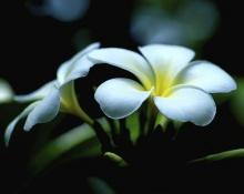 ดอกลีลาวดี 1 (Plumeria)