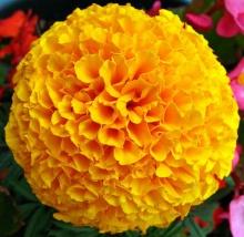 ดอกดาวเรือง # 1