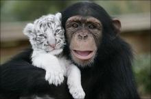 เมื่อลิงเลี้ยงลูกเสือขาว