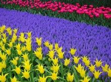Keukenhof Garden Holland # 1