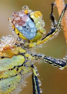 แมลงยามเช้ายามมีแม่คะนิ้ง