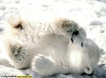 # น้องหมีขาว #