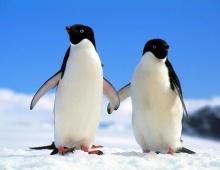 เพนกวิน นกบินไม่ได้