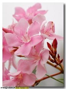 ดอกยี่โถ (Sweet Oleander) สวยเหลือเชื่อ