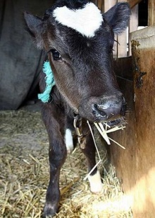 Baby Ox with Whopping HUGE Heart-Shaped Marking