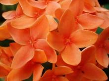 ดอกเข็มสวยๆ[มั้ง]^^
