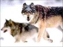 .. มาดูน้องหมาป่ากันค่ะ .. (o^.^o)