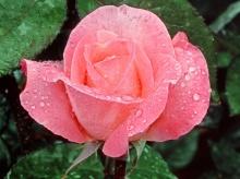 อรุณสวัสดิ์ กับดอกไม้หลังฝนตกค่ะ