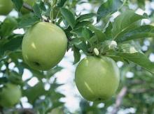 พาไปดูสวนแอปเปิ้ลค่ะ ‧:﹎。‧::‧ (^∇^)