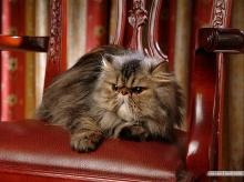 Persian Cat  ‧:﹎。‧::‧ (^∇^) 3