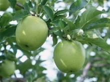 ไปเที่ยวสวนแอปเปิ้ลกัน(น่ากินจัง)