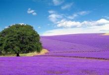 Beauty Of Lavender Fields