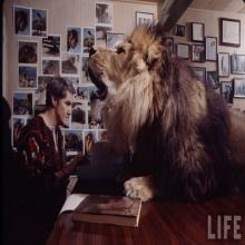 สัตว์เลี้ยงตัวโปรด เลี้ยงสิงโต เป็นสัตว์เลี้ยงในบ้าน