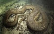 งูยักษ์อนาคอนด้า ใต้ท้องน้ำป่าอะเมซอน
