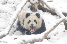 เมื่อหมีแพนด้าเจอหิมะ