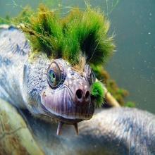 เต่า Punk Rock แห่งแม่น้ำแมรี่