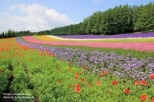 FURANO HOKKAIDO ดินแดนแห่งทุ่งดอกไม้อันตระการตา
