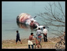 ~ ปลาวาฬเกยตื้น ~