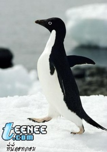 นกเพนกวิน  รู้จักมั๊ยจ๊ะ??