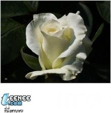 ดอกไม้สีขาว....สวยๆ