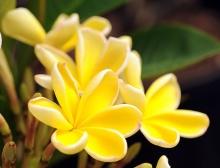 ดอกลีลาวดี 2 (Plumeria)