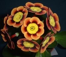 ดอก Auricula