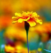 ดอกดาวเรือง # 2
