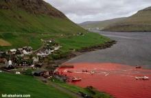 Denmark's SHAME น่ากลัวมาก มีแต่เลือด!!
