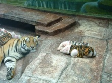 ~Tiger And Pig~