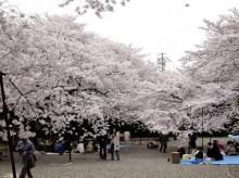 ซากุระบานที่ญื่ปุ่น