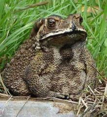 คางคกนา ๆ ชนิด ( Toad )