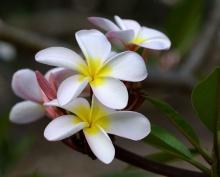 ดอกลีลาวดีสวยๆ จากฮาวาย
