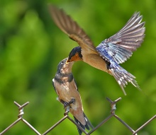 .. มาดูนกเค้าจับคู่กันค่ะ .. น่ารักเชียว ..(o^.^o)