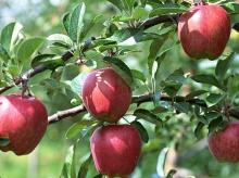 พาไปดูสวนแอปเปิ้ลค่ะ ‧:﹎。‧::‧ (^∇^) 2