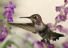 Hummingbird •°•.° ღ.