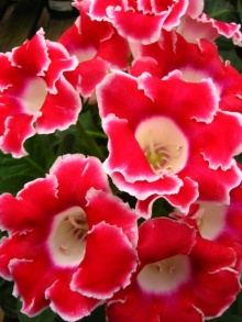 ดอก Gloxinia สีสวย
