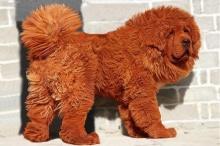 50 ล้าน! หมาที่มีราคาแพงที่สุดในโลก